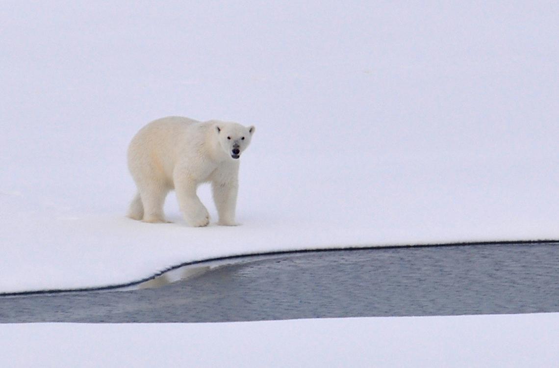 pops polar bear